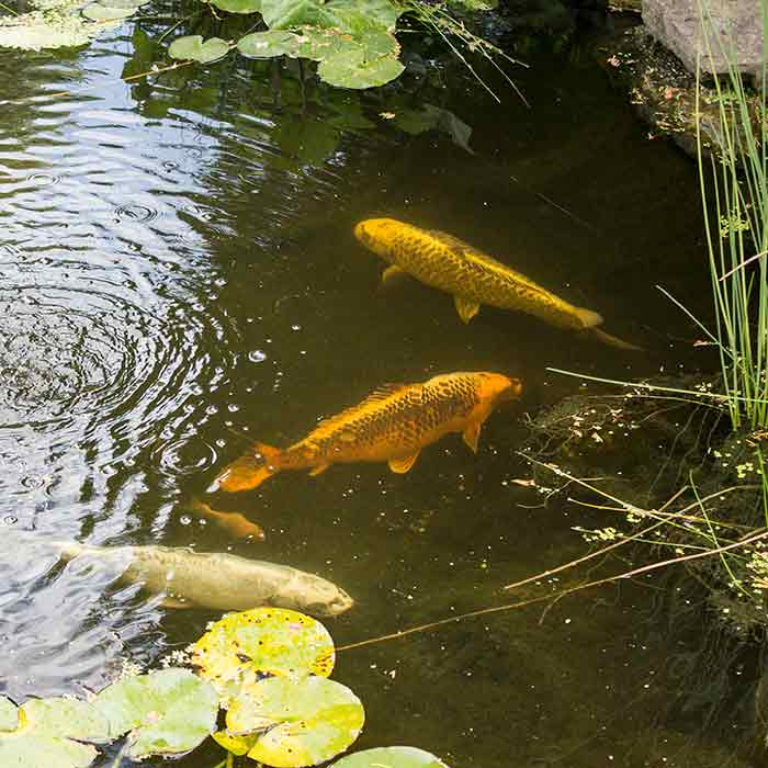 Fish pond at the hospice